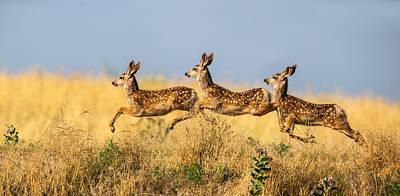 Deer Photograph - Tripple Jump by Verdon