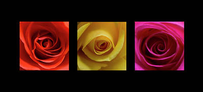 Photograph - Triptych Roses by Pixie Copley