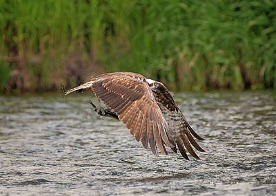 Photograph - Triumphant Osprey by Loree Johnson
