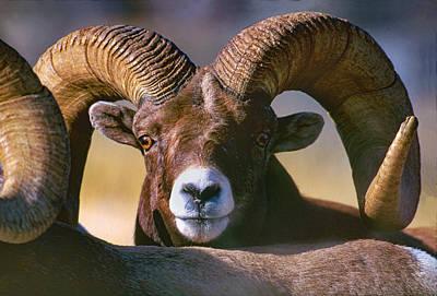 Trophy Bighorn Ram Art Print