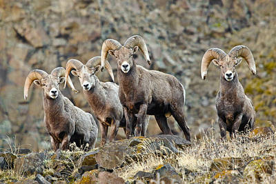 Photograph - Trophy Bighorn Sheep by Athena Mckinzie