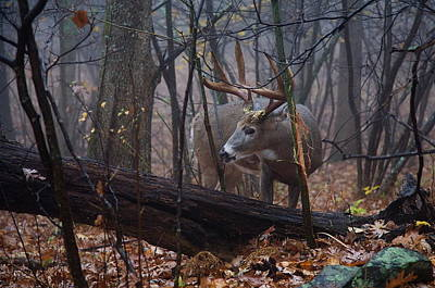 Missouri Whitetail Photograph - Trophy Whitetail Buck At A Rub by Tom Reichner