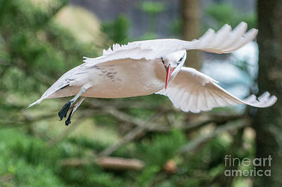 Photograph - Tropic Bird 3 by Werner Padarin