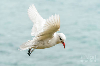 Photograph - Tropic Bird 4 by Werner Padarin