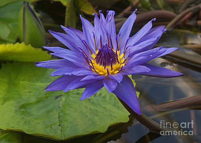 Photograph - Tropic Water Lily 20 by Rudi Prott