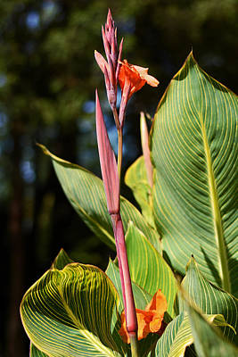 Photograph - Tropical Beauty - Orange Canna by Connie Fox