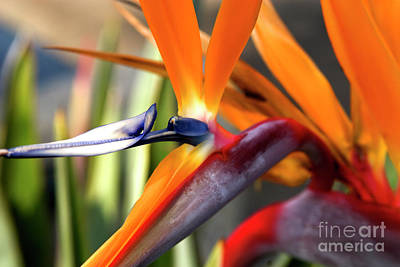 Strawberry Festival Photograph - Tropical Bird Of Paradise Flower by K D Graves