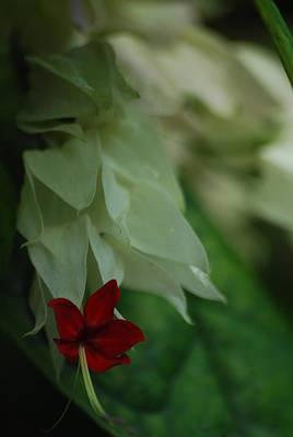 Photograph - Tropical Bleeding Heart by Ramona Whiteaker