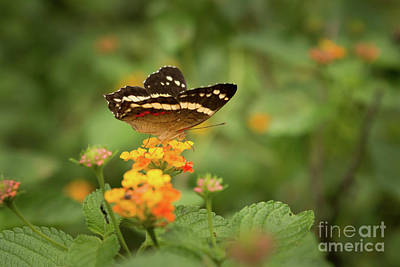 Fluttering Photograph - Tropical Butterfly by Ana V Ramirez