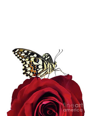 Tropical Butterfly On Red Rose Art Print