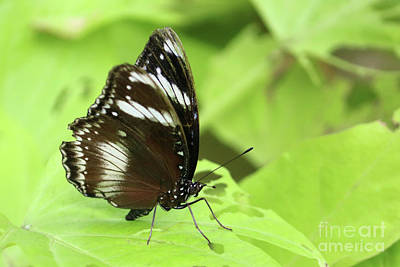 Photograph - Tropical Butterfly Resting On Green Leaf  by Julia Gavin