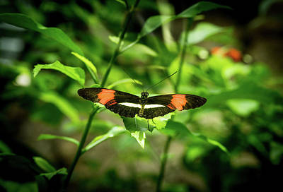 Legs Spread Photograph - Tropical Butterfly With Wings Spred Wide by Douglas Barnett