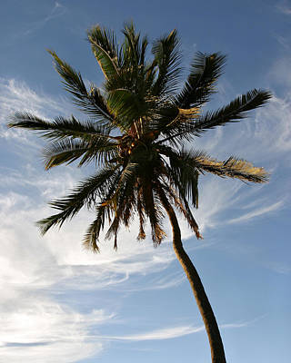 Photograph - Tropical Coconut Palm Tree Maui Hawaii by Pierre Leclerc Photography