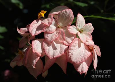 Photograph - Tropical Dogwood Flower Closeup by Carol Groenen