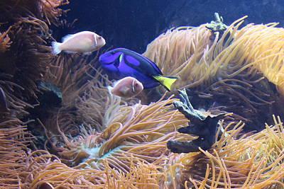 Photograph - Tropical Fish And Sea Anemones by Dora Sofia Caputo Photographic Art and Design