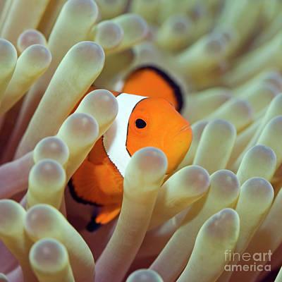Clown Fish Photograph - Tropical Fish Clownfish by MotHaiBaPhoto Prints