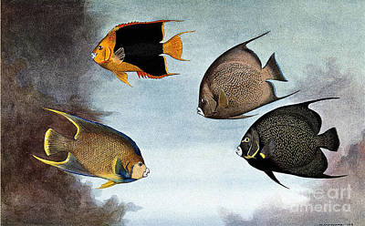 Angel Fish Photograph - Tropical Fish Illustration by Wellcome Images