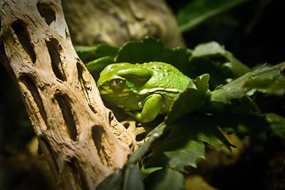 Photograph - Tropical Green Frog by Douglas Barnett