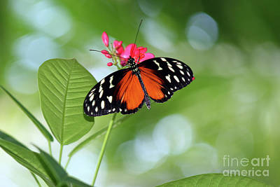 Tropical Hecale Butterfly Art Print