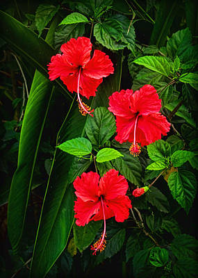 Photograph - Tropical Hibiscus by Carolyn Derstine