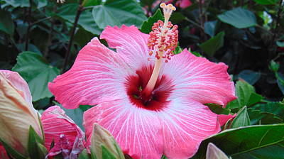 Charlotte Fine Art Photograph - Tropical Hibiscus by Charlotte Gray