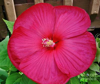 Tropical Hibiscus In Red Original
