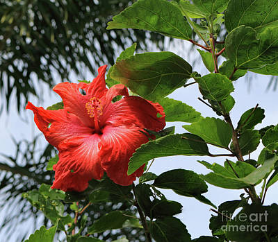 Photograph - Tropical Hibiscus by Mary Haber