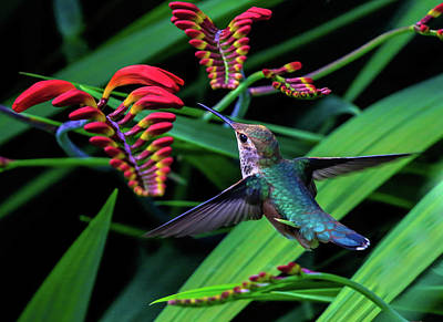Photograph - Tropical Hummingbird by Athena Mckinzie