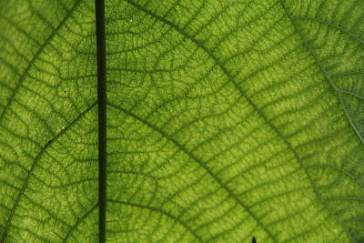Photograph - Tropical Leaf Green With Fuzzy Veins by Jennifer Bright