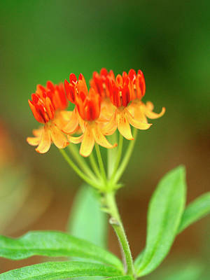 Photograph - Tropical Milkweed by Ree Reid