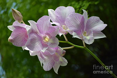 Photograph - Tropical Pink Orchids by Jeannie Rhode