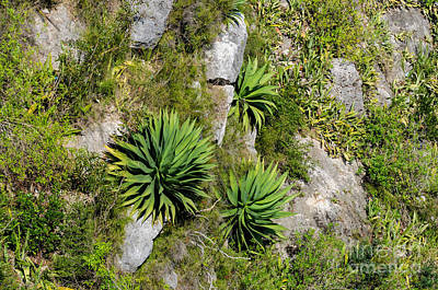 Photograph - Tropical Agave Plants by Les Palenik