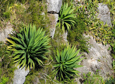 Photograph - Agave Plants On Rocky Slope by Les Palenik