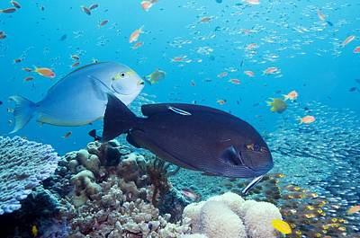 Surgeonfish Photograph - Tropical Reef Fish by Georgette Douwma