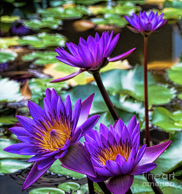 Photograph - Tropical Water Lilies by Karen Lewis