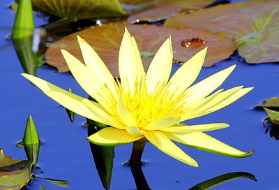 Photograph - Tropical Water Lilly by Sean Allen