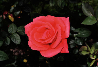 Photograph - Tropicana Rose 001 by George Bostian