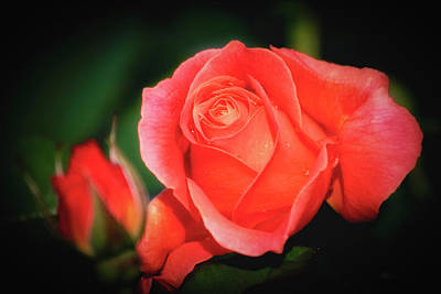 Photograph - Tropicana Rose by Albert Seger