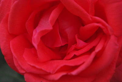 Art Print featuring the photograph Tropicana Rose by Robyn Stacey
