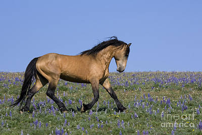 Gaiting Photograph - Trotting Stallion by Jean-Louis Klein & Marie-Luce Hubert