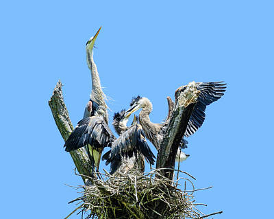 Photograph - Trouble In The Heron Nest by Joni Eskridge