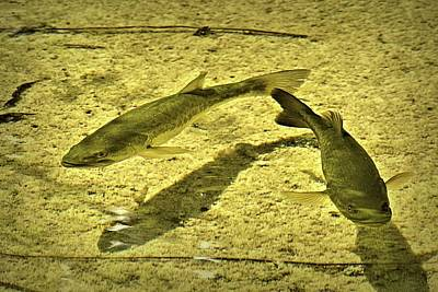 Photograph - Trout In The Shallows by Nadalyn Larsen
