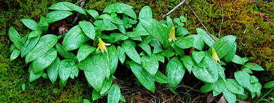 Trout Lily Panorama  Original