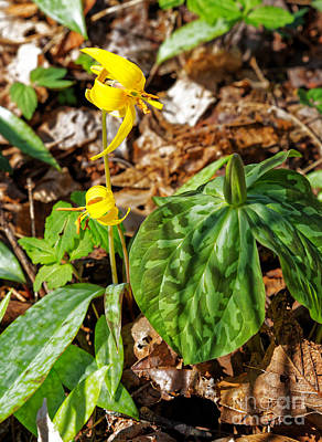 Photograph - Trout Lily by Paul Mashburn