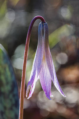 Photograph - Trout Lily by Steven Schwartzman