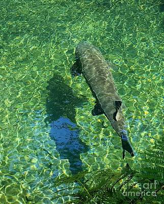 Photograph - Trout Shadow by Debra Kaye McKrill