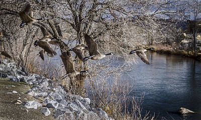 Photograph - Truckee River Geese by Rick Mosher