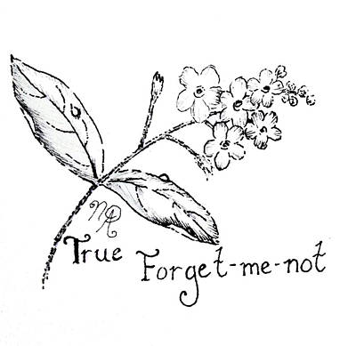 Drawing - True Forget-me-not by Nicole Angell