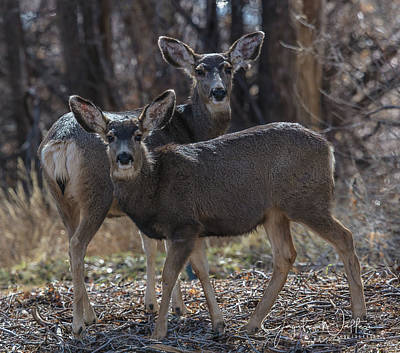 Photograph - True Genetics Mother And Fawn  by Jaquita Watters