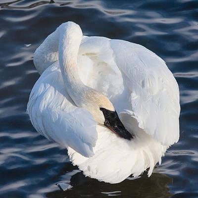 Photograph - Trumper Swan by Rikk Flohr